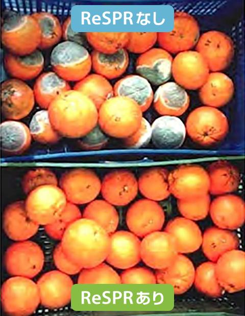 オレンジの鮮度検証